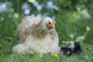 Laxfärgad höna med kycklingar